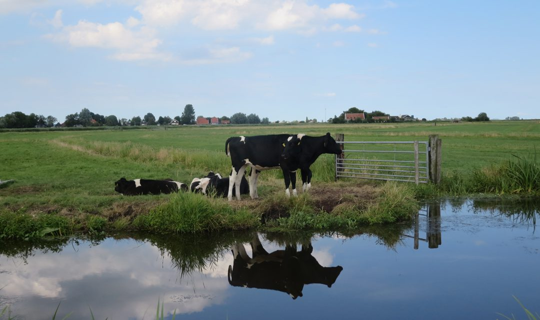 Black and white cows in the field, next to water