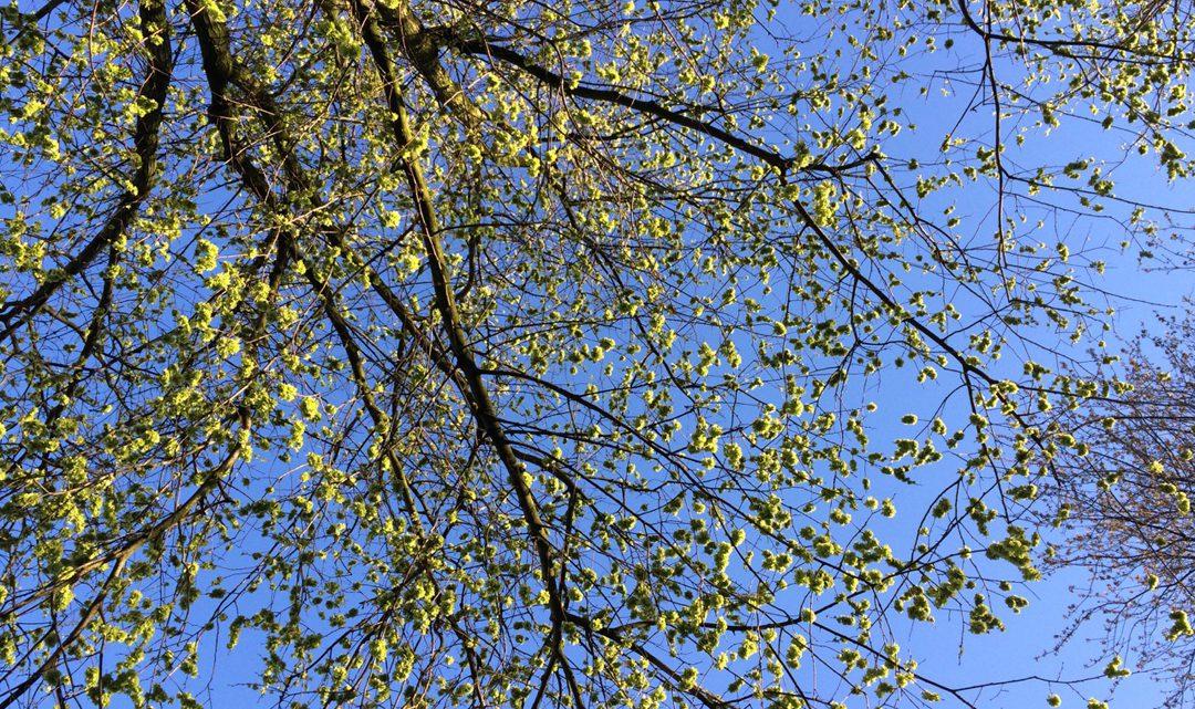 Elm tree full of seeds