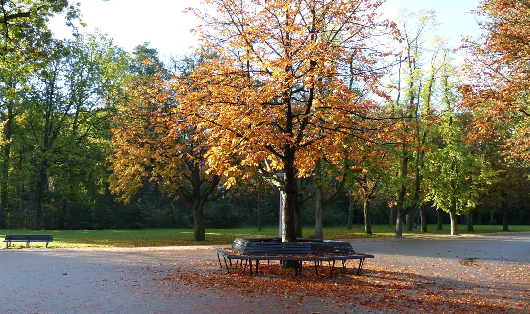 An autumnal tree in the middle of a three-way intersection in the park with a bench around it