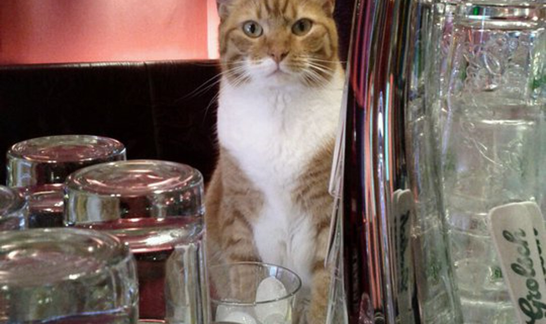 The ginger bar cat