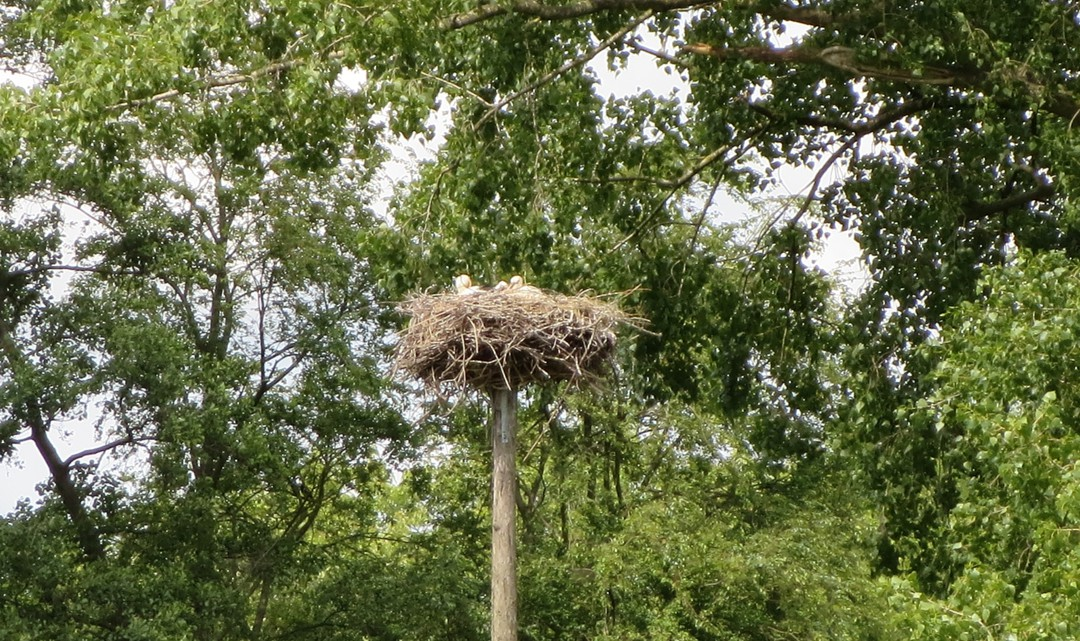 A stork couple in a nest high above the ground